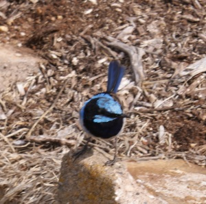 Blue Wren at Table Cape Lookout