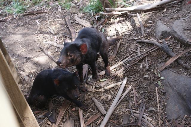 Tasmanian Devils at the Conservation Park