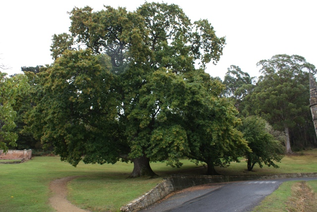 From Little Things Big Thing Grow - Acorn Tree at Port Arthur