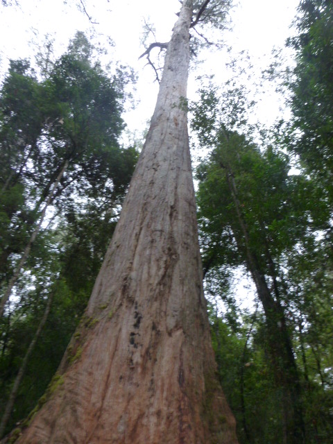 One of the Giant Trees at the Tahune AirWalk