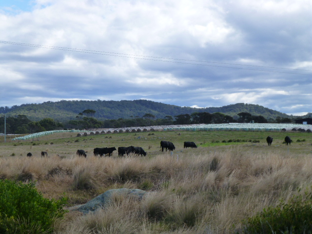 Cattle in the Paddock at the Gardens