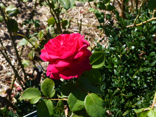Lovely Rose at Woolmers