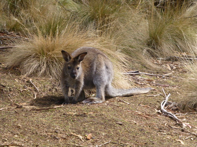 This Wallaby greeted us on disembarking from the Chair Lift