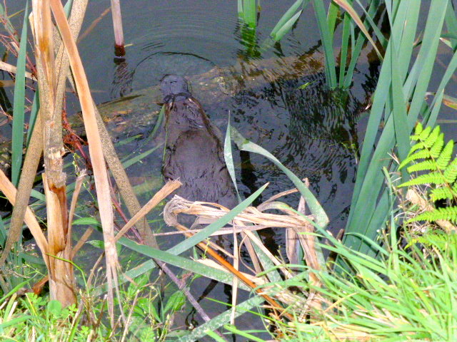 Another view of the Meander Platypus