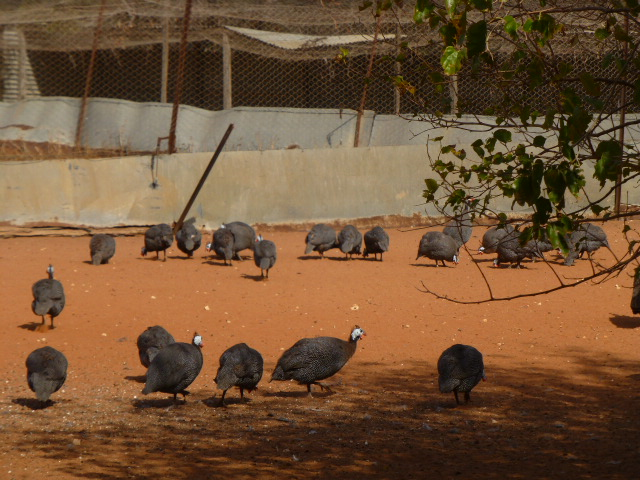 Guinea Fowl at the Pheasant Farm