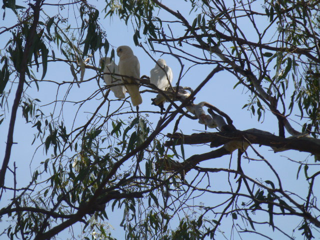 Noisy Corellas at Tooleybuc