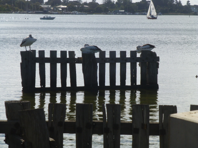 Resting Pelicans at Goolwa