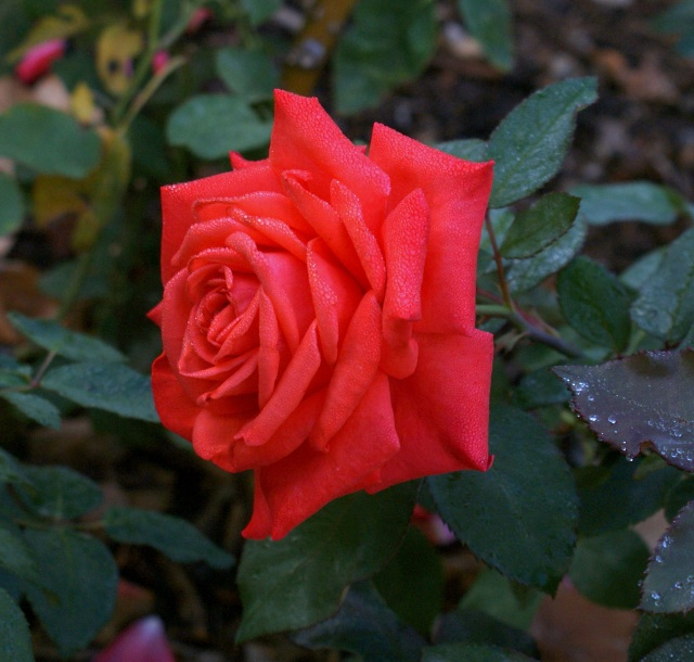 Red Rose from the Botanical Gardens