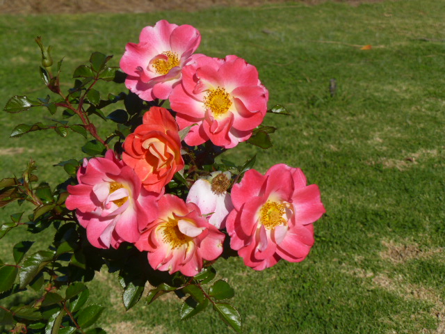 Roses at Rushton Roses
