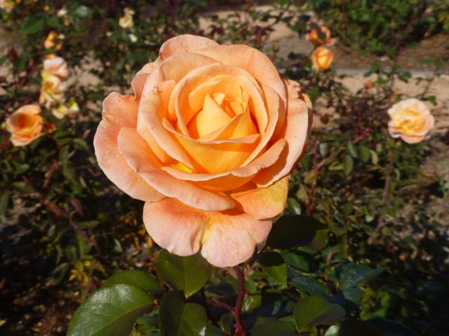 Rose at Botanic Gardens
