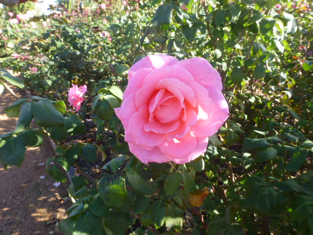 Pink Rose at Inland Botanic Gardens