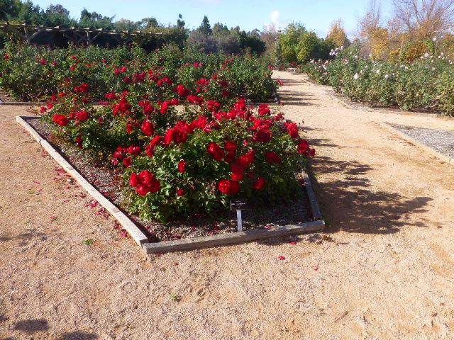 Lovely Roses at the Gardens