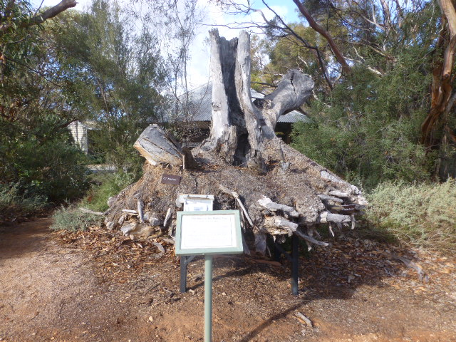 Mallee Stump at Botanic Gardens