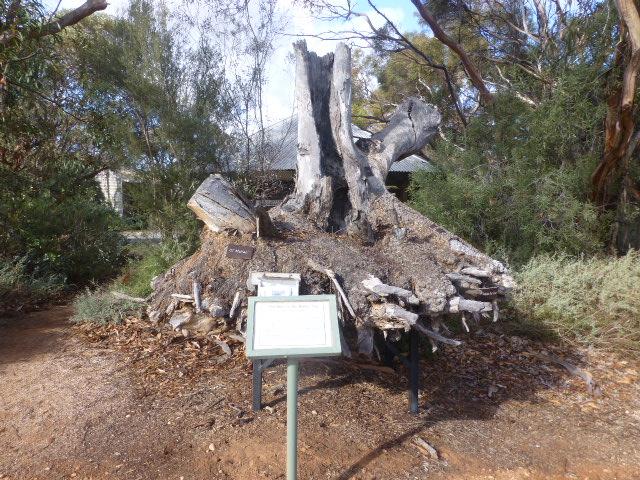 Mallee Stump at Botanic Gardens