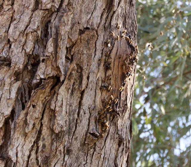 Beehive in a roadside tree at Barringun