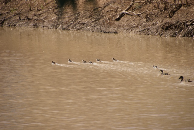 These ducklings couldn't fly yet but they sure could swim fast on the Bulloo River
