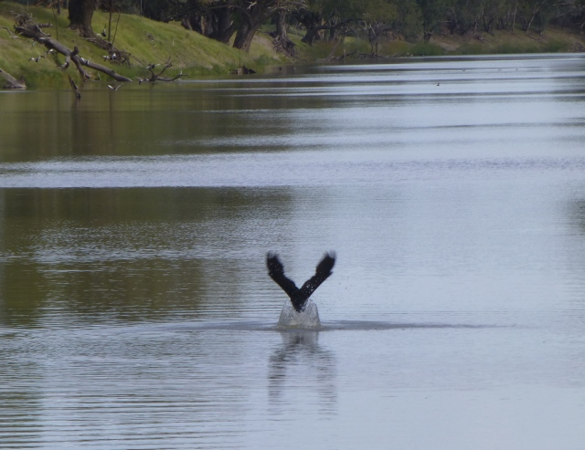 Cormorant lifting off from the surface of the Darling River