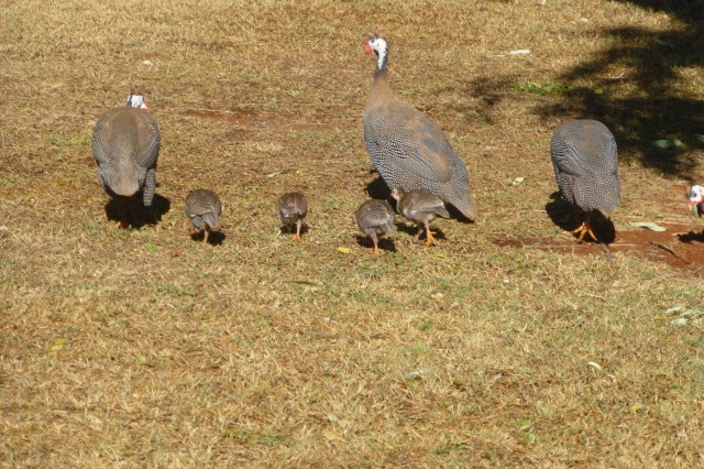 Guinea Fowl and Chicks at Barkly Homestead