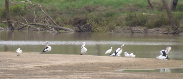 Pelicans on a sandbank in the Balonne River