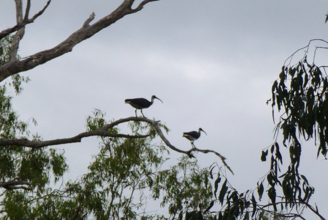 Cranes high above the Balonne