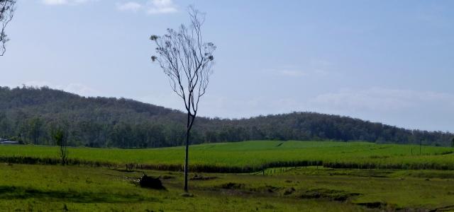 Sugar Cane - just south of Maryborough