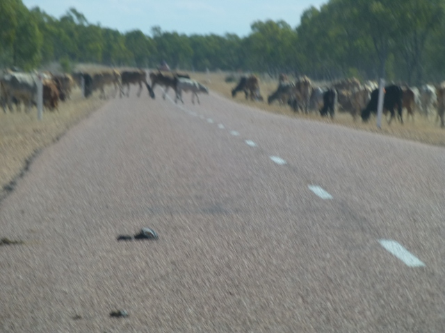 Cattle on the road north of Belyando Crossing