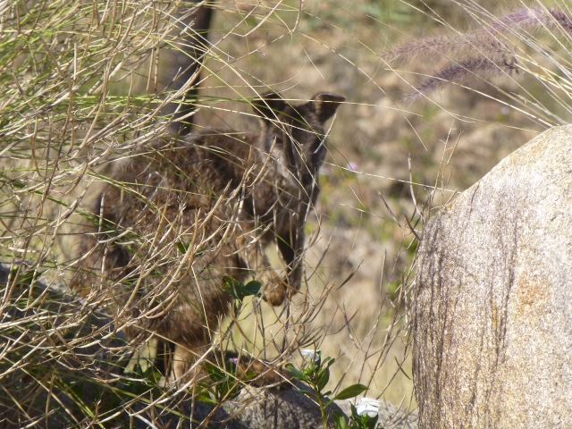 Rock Wallaby on Towers Hill