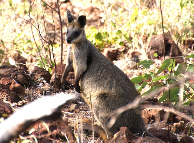 Pretty Face Wallaby
