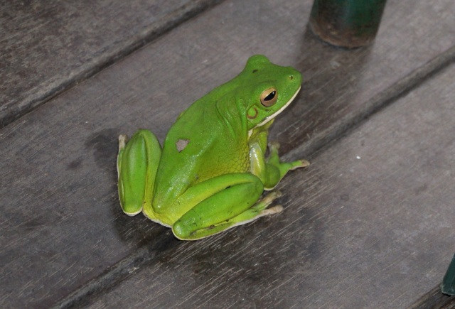 Green Frog at the Cafe at the Botanic Gardens - obviously needed a latte