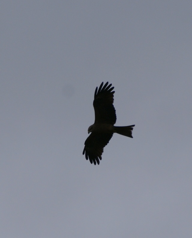 Hunting Hawk at Black Mountain