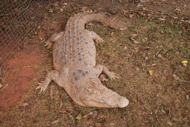 Large crocodile outside the Croc Tent - not quite alive