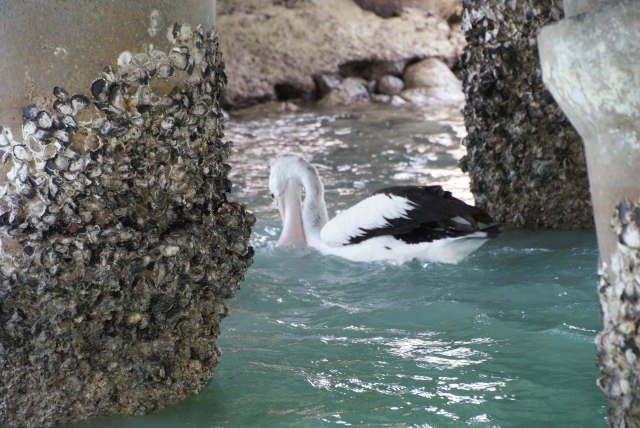 Pelican successfully fishing under the wharf at Horn Island