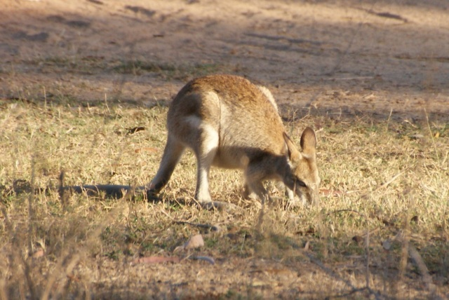 Wallaby at Morehead River Rest Arae