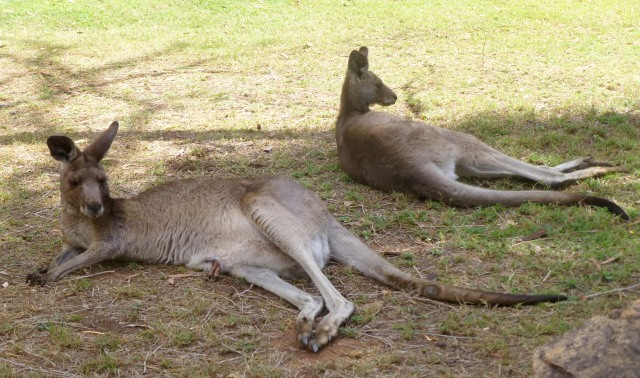 Kangaroo family relaxing near the pool