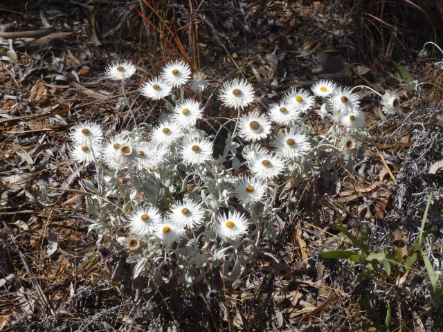 Paper daisies we found on the way to Atkinson Lookout