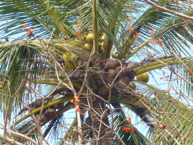Coconuts aplenty at Somerset Beach