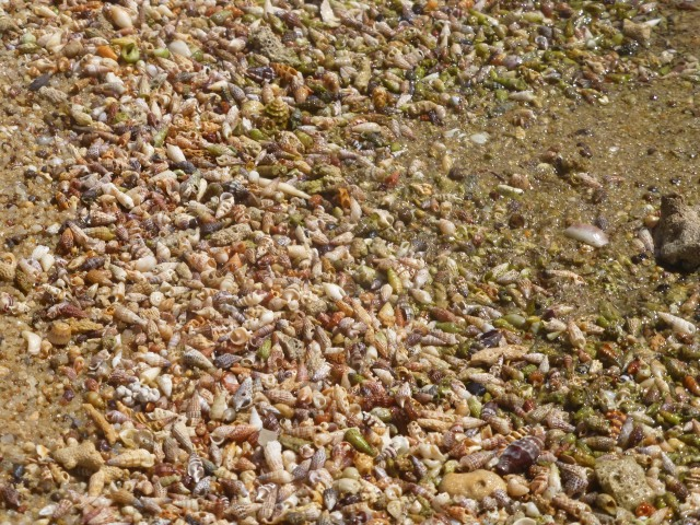 Shells on Loyalty Beach