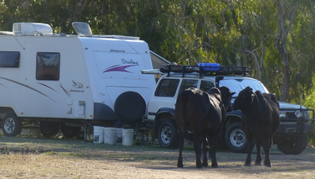 Cattle in the camp at Fletcher Creek