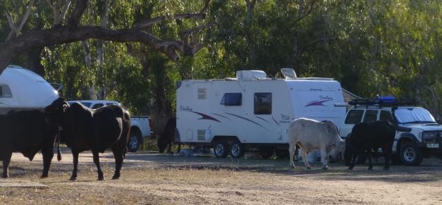 Cattle at Fletcher Creek