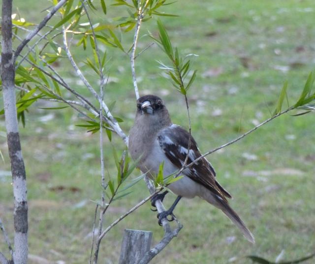 Young Butcher Bird at the caravan park