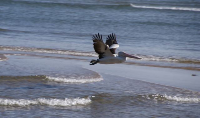A pelican flies off as the LARC approaches across Round Hill Creek