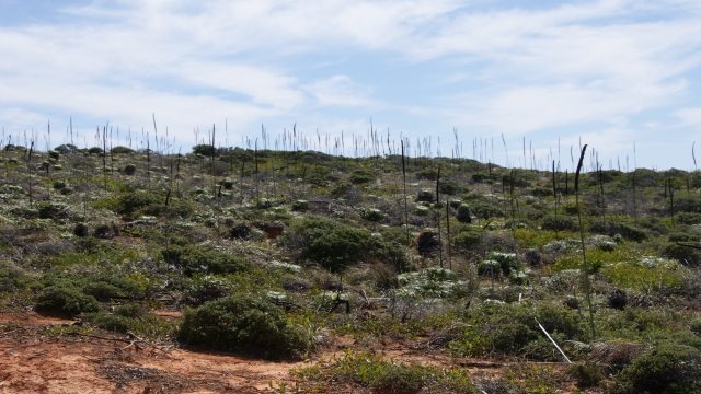 Grass trees on the hill at Bustard Head