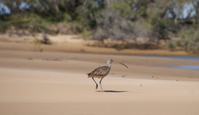 Eastern curlew on the beach as we return