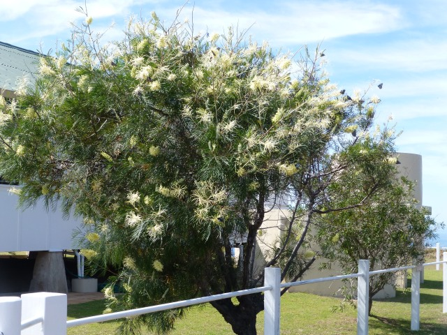 Butterflies flocked to this tree outside the Lighthouse Keeper's Cottage