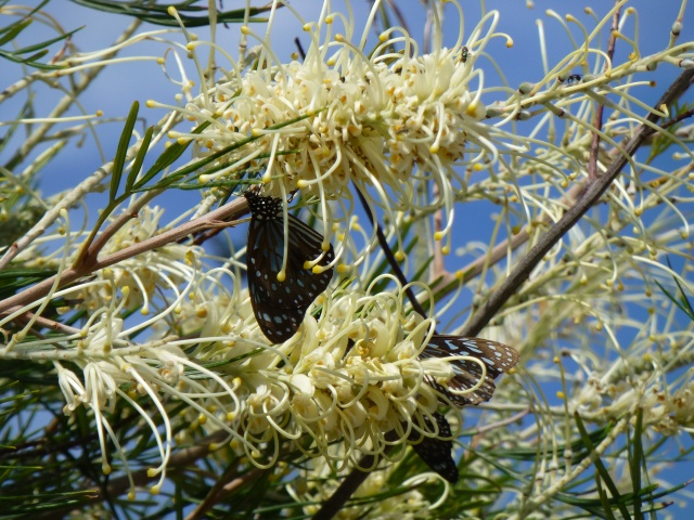 Butterflies on the Grevillea