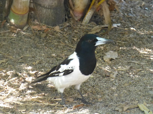 Butcher bird near the caravan at Agnes Water