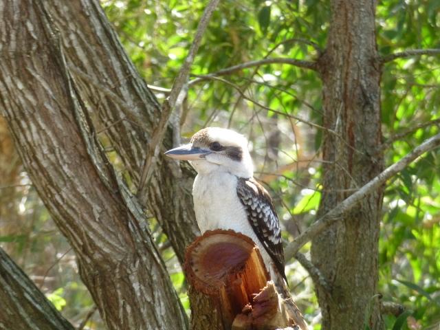 Kookaburra at Agnes Water