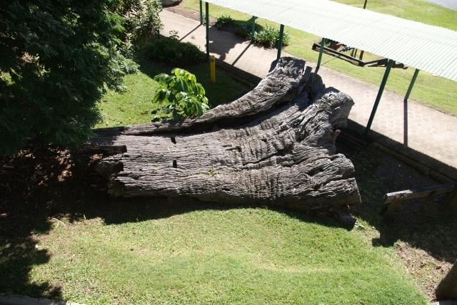 Very large old stump at the Big Banana