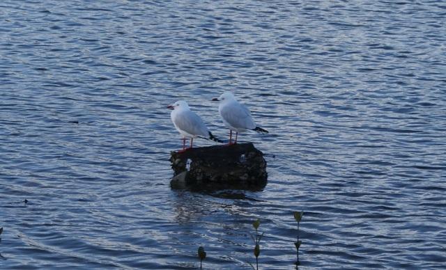 Seagulls (Not Shags)