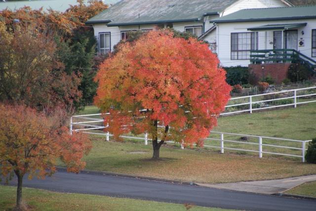 Tree in Walcha